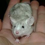 Mousekateers Mab